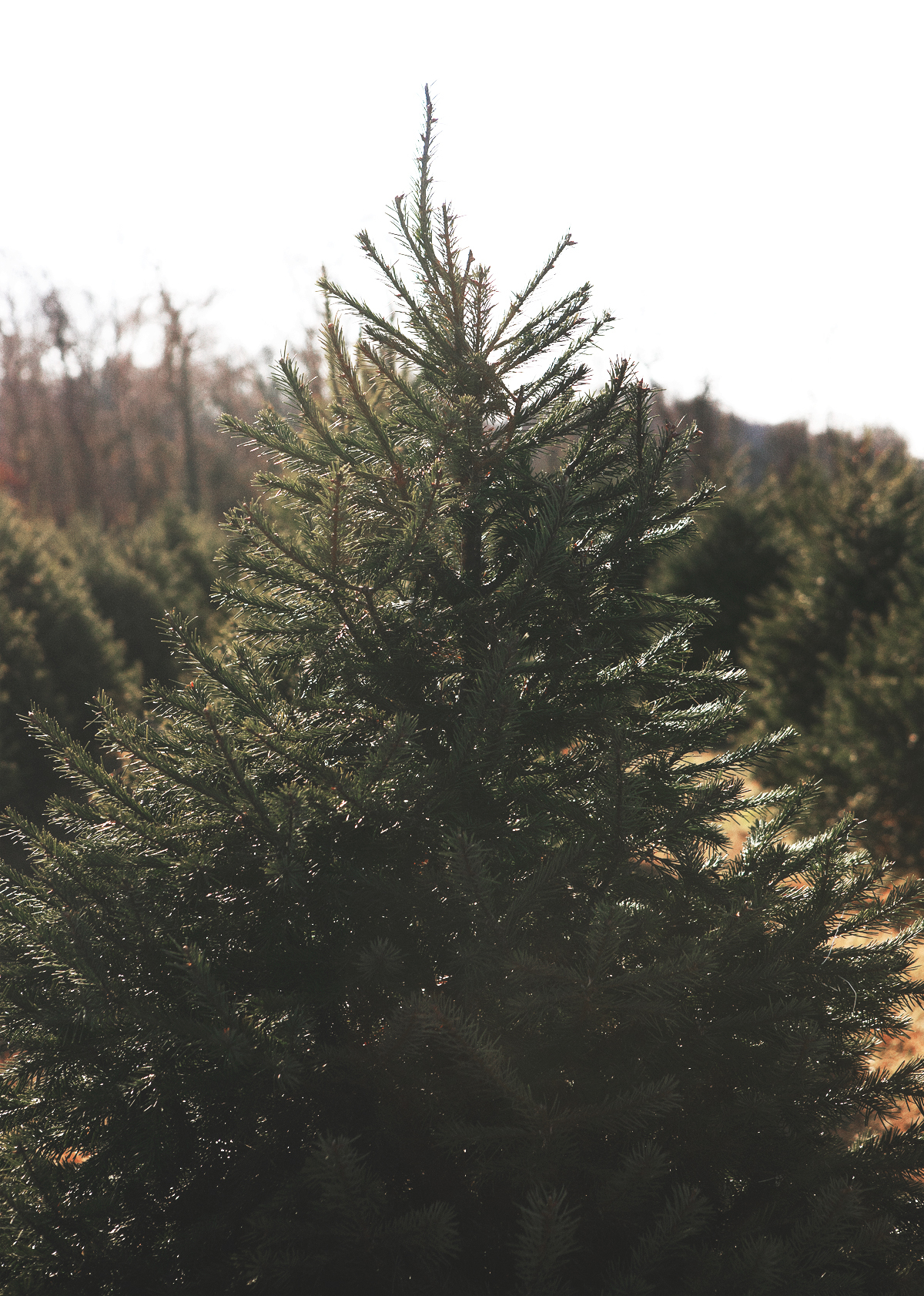 christmas-tree-hunting_11.jpg