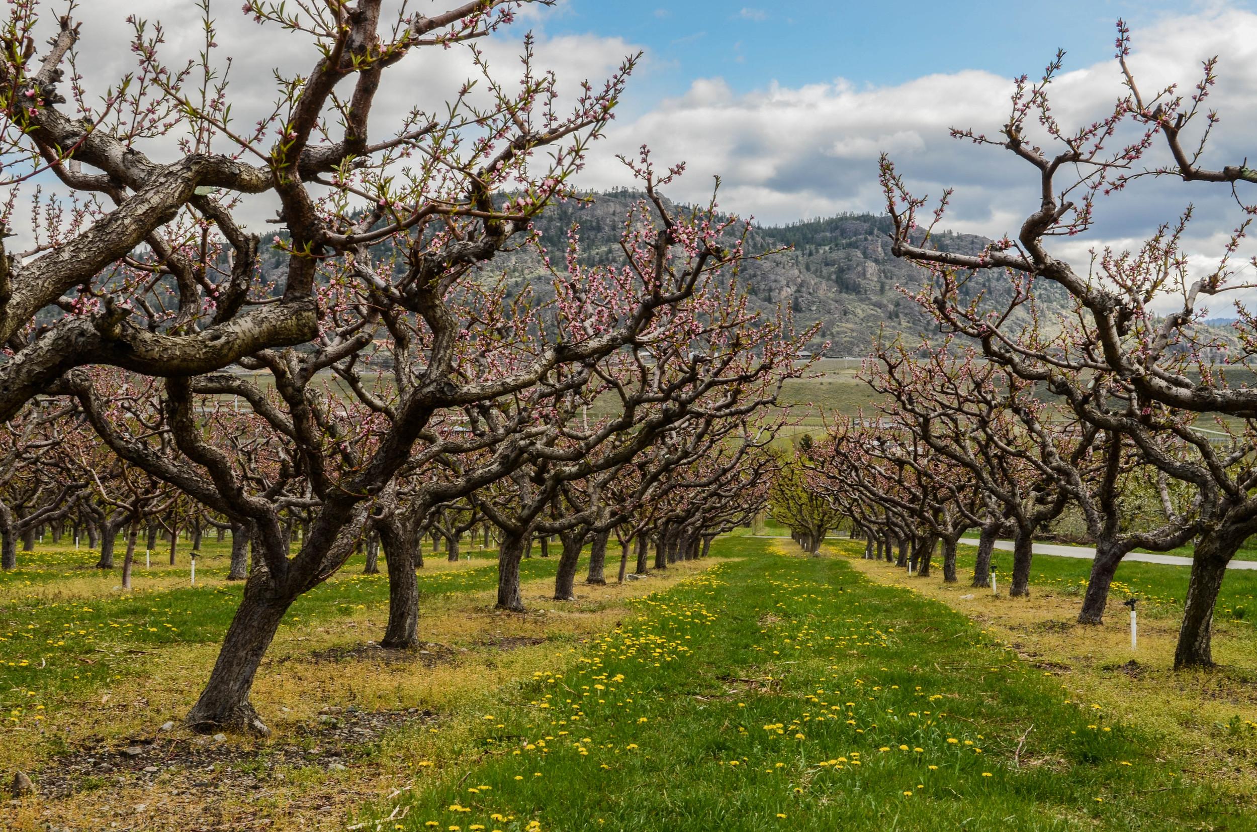 Oliver orchard in April