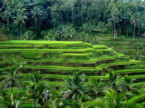 bali rice fields.jpg