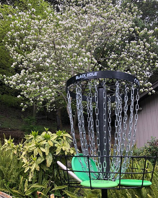 Springtime putting practice! Dogwood in my front yard showing off. . . . #discgolf #mvpdiscsports #discgolfbasket #mvpblackhole #puttercurious #throwstuffatstuff #thediscgolfpodcast #dogwood