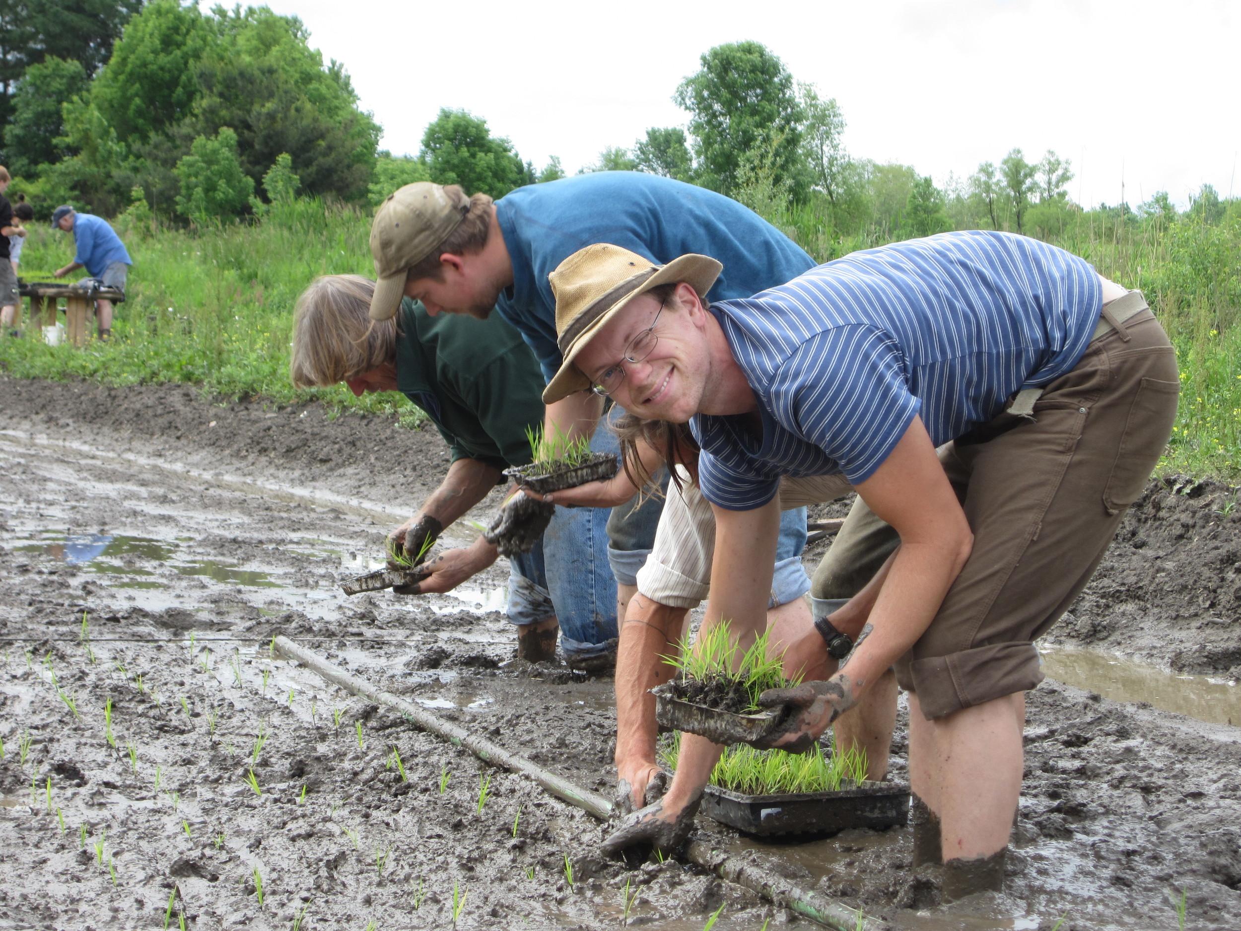 On planting day, friends help put in 4000+transplants of Yukihikari rice