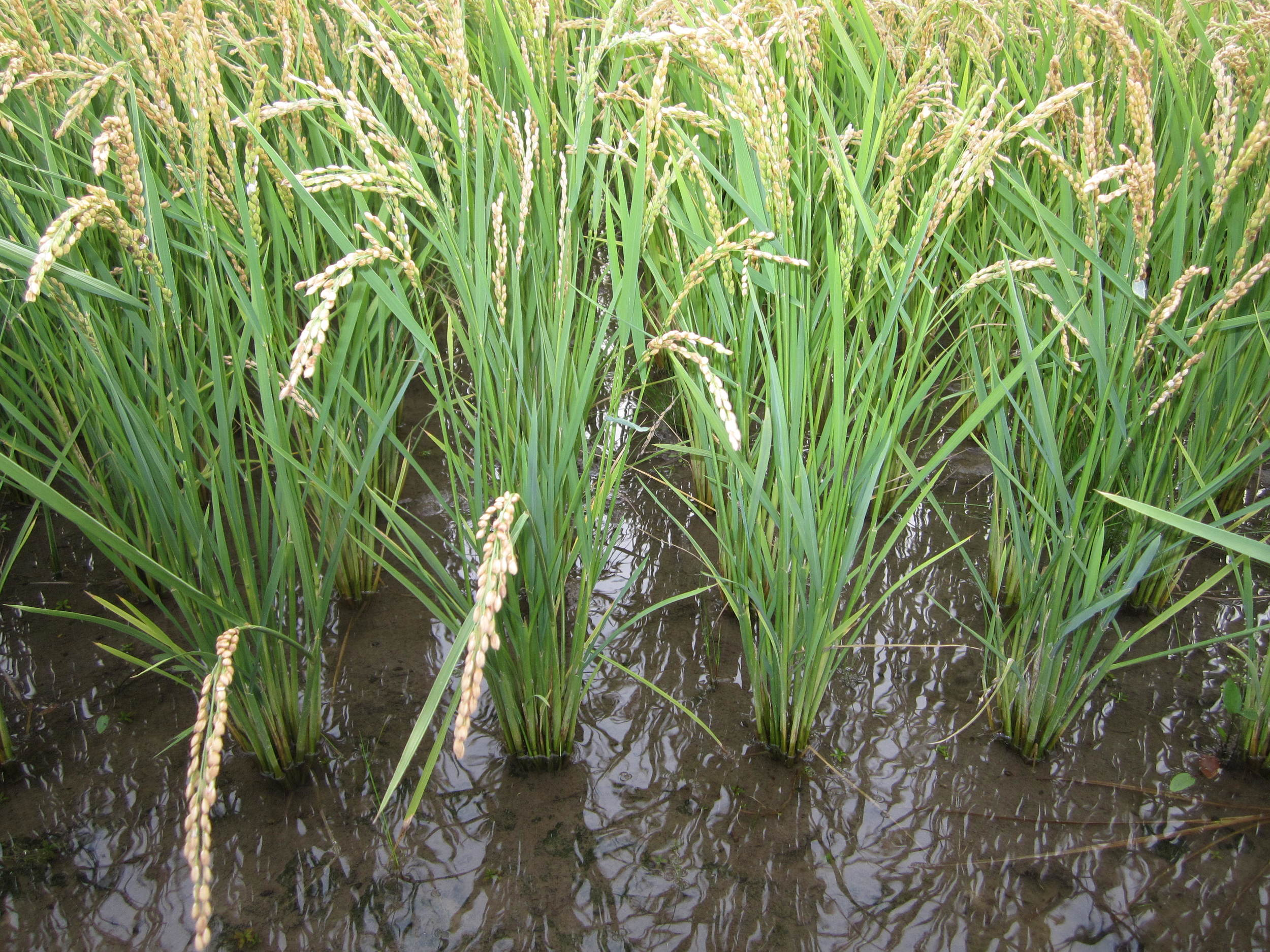 By September, each transplant grows into a beautiful rice plant with multiple tillers and full grain heads
