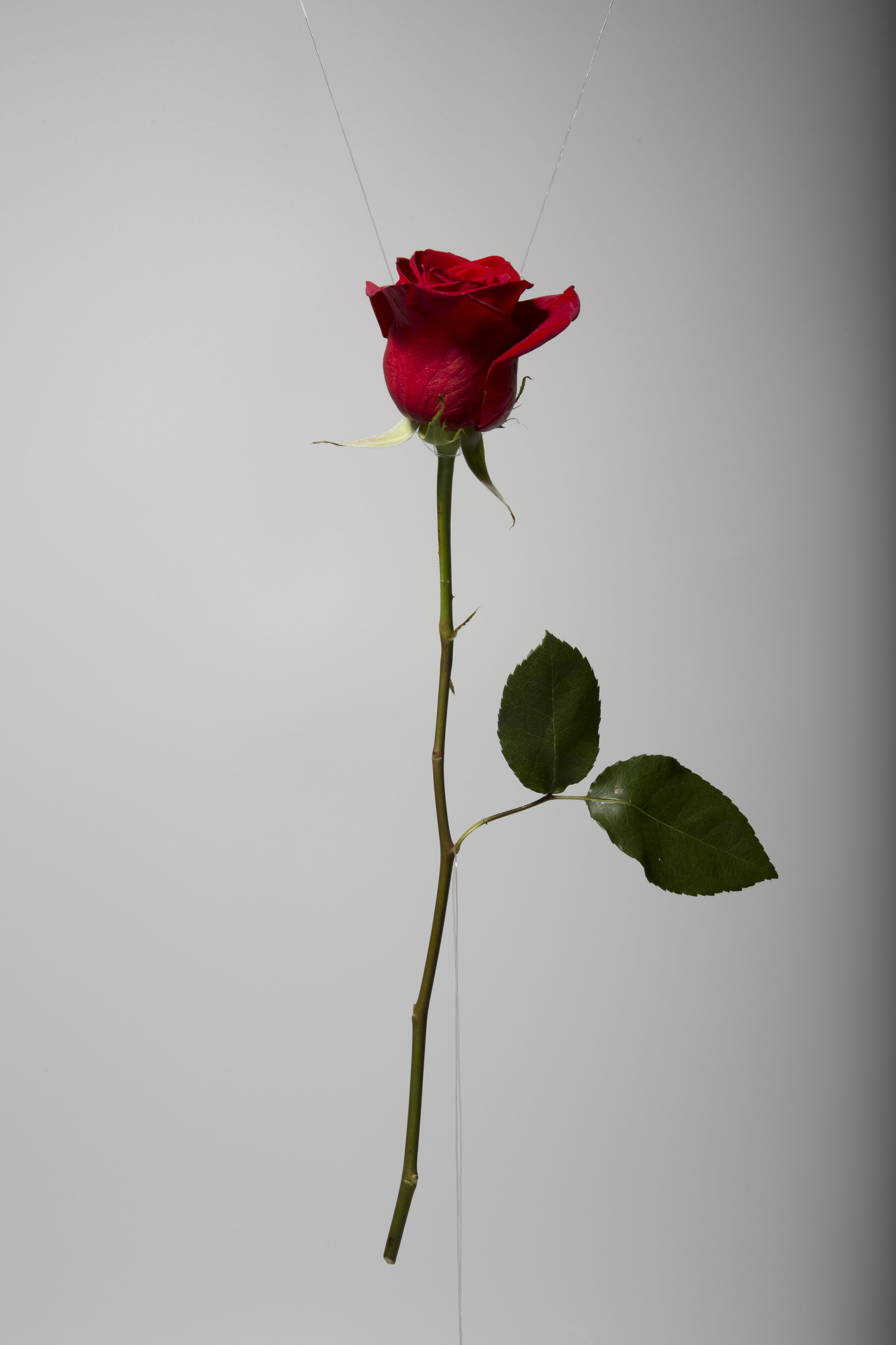 Red Rose I_unedited.jpg