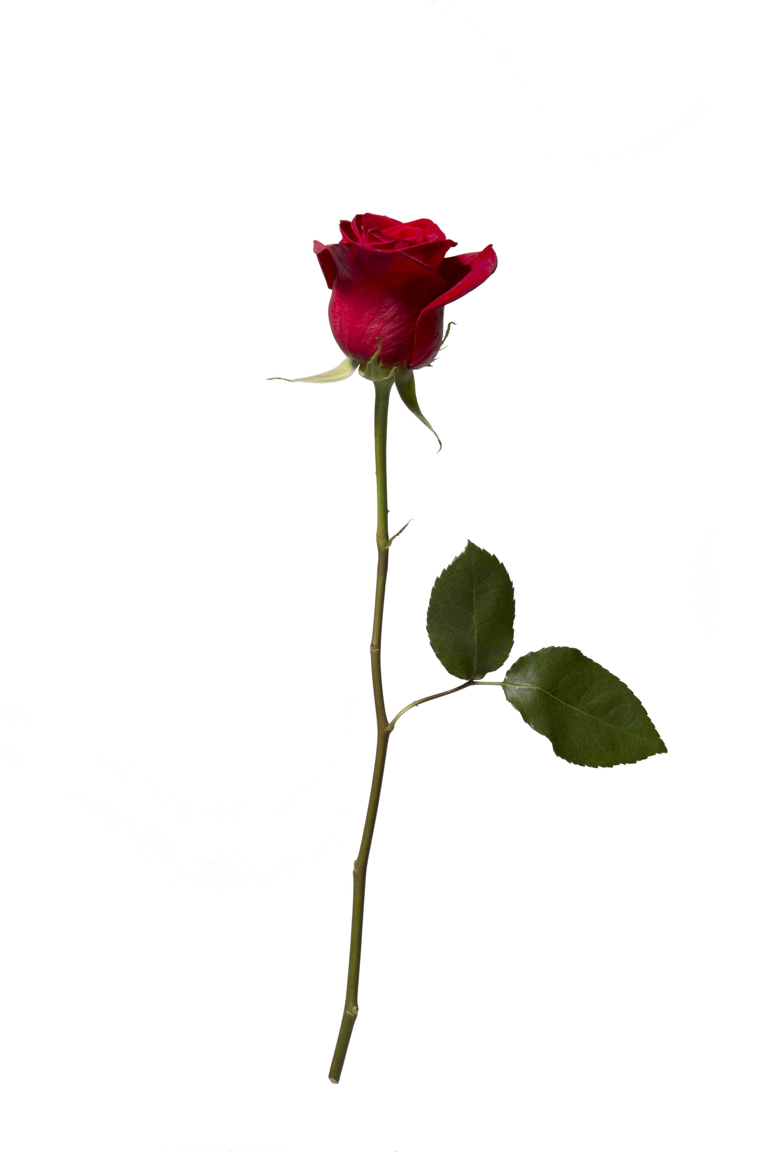 Red Rose I.jpg