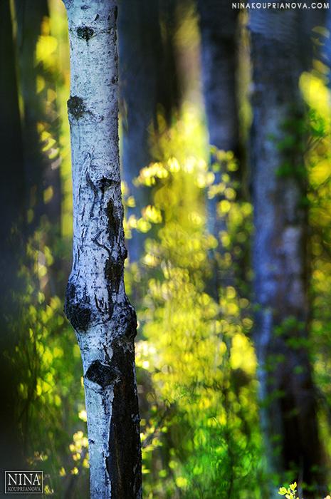 golden hour aspen grove 700 px.jpg