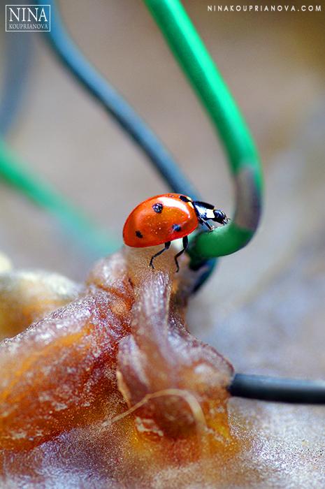 ladybug on wax 700 px with url.jpg