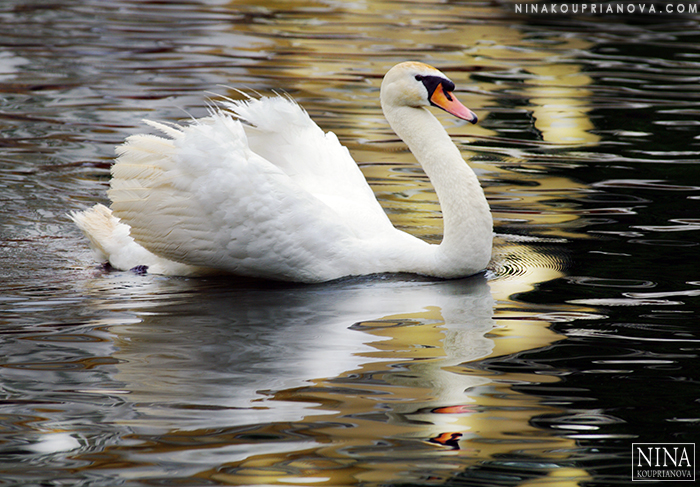 swan moscow 700 px.jpg