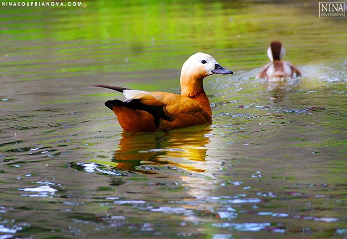orange duck 700 px.jpg