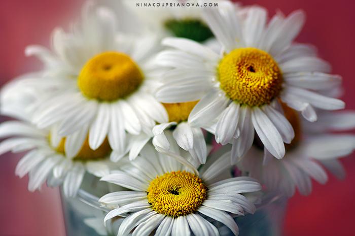 daisies 700 px.jpg