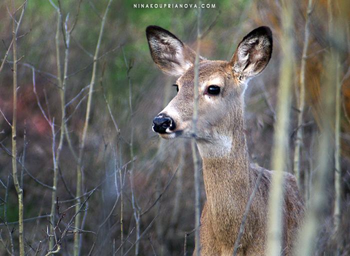 deer spring portrait 700 px.jpg