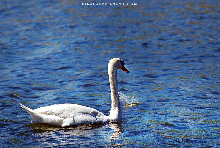 swan kronborg cropped 700 px with url.jpg
