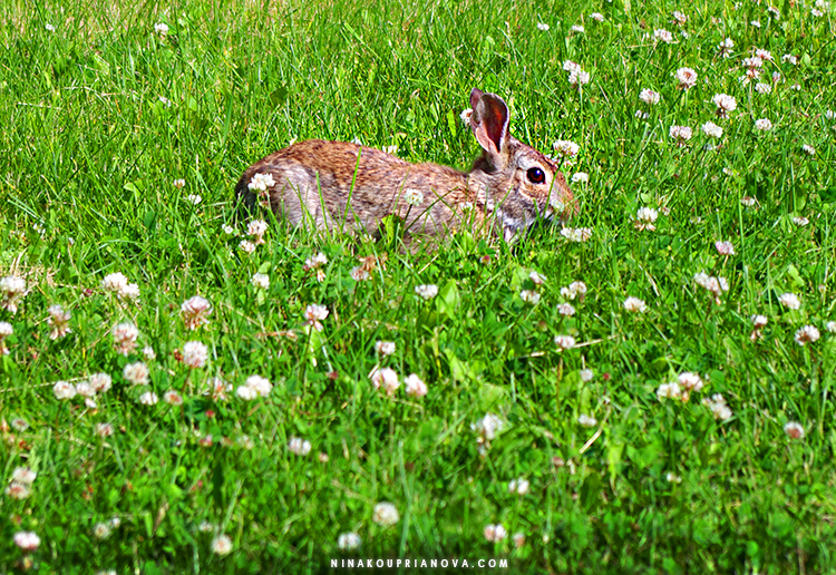 bunny and clovers 750 px.jpg