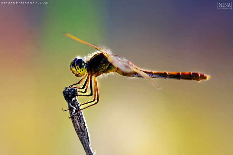dragonfly 1 wide 800 px with url.jpg