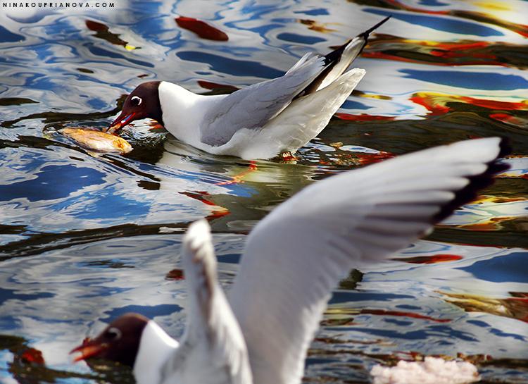 gulls feeding frenzy cropped 750 px url.jpg