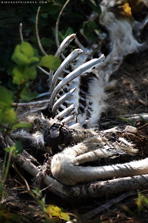 deer bones desaturated 775 px url.jpg