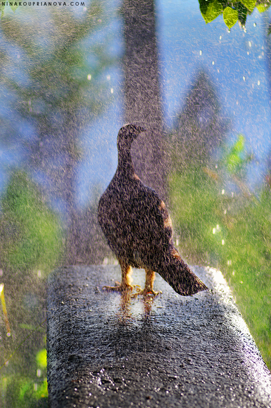 grouse shower 800 px url.jpg