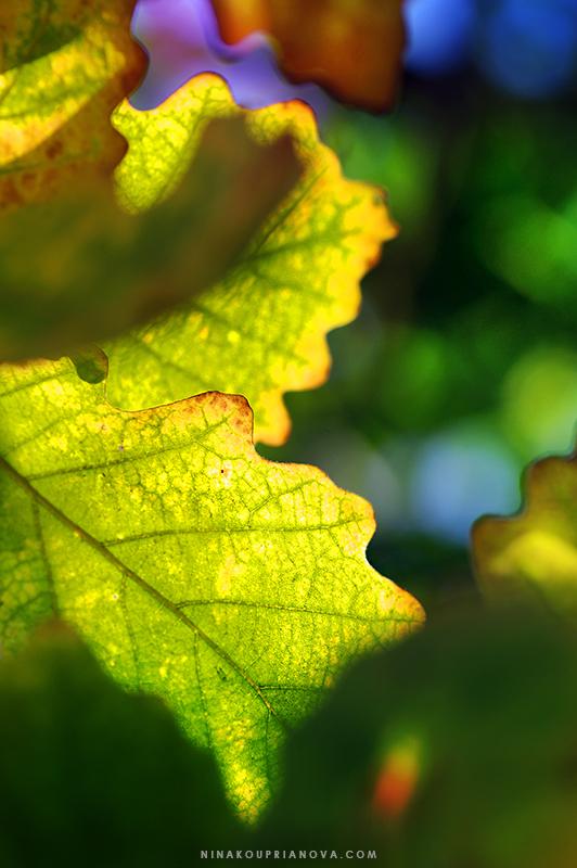oak leaf 1 800 px url.jpg