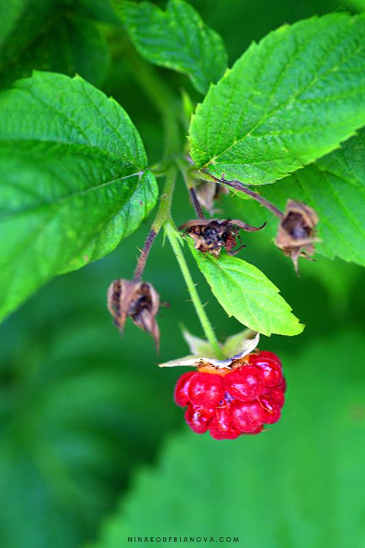 raspberry moms garden 1 800 px url.jpg