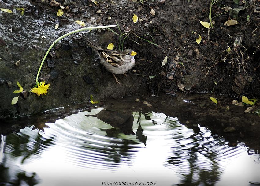 sparrow on water 850 px url.jpg