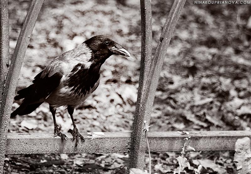 eurasian crow vorontsov park 800 px url.jpg