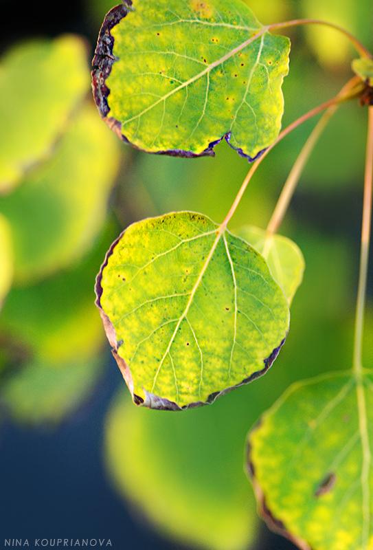 aspen leaves in sunset 800 px url.jpg