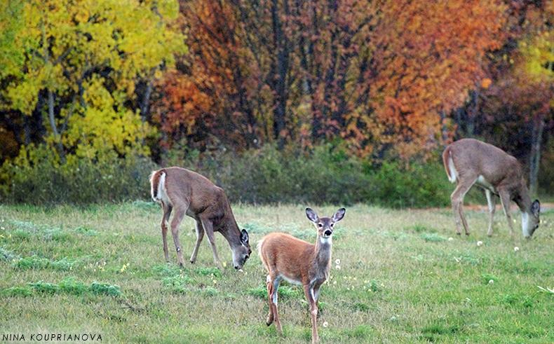 deer at sunset oct 16 800 px url.jpg