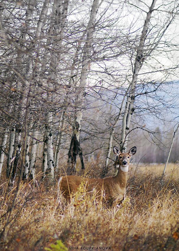 deer at dusk 2 850 px url.jpg