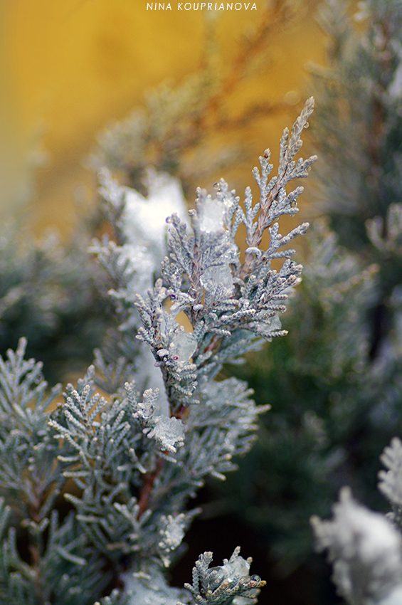 cedar in snow 850 px url.jpg