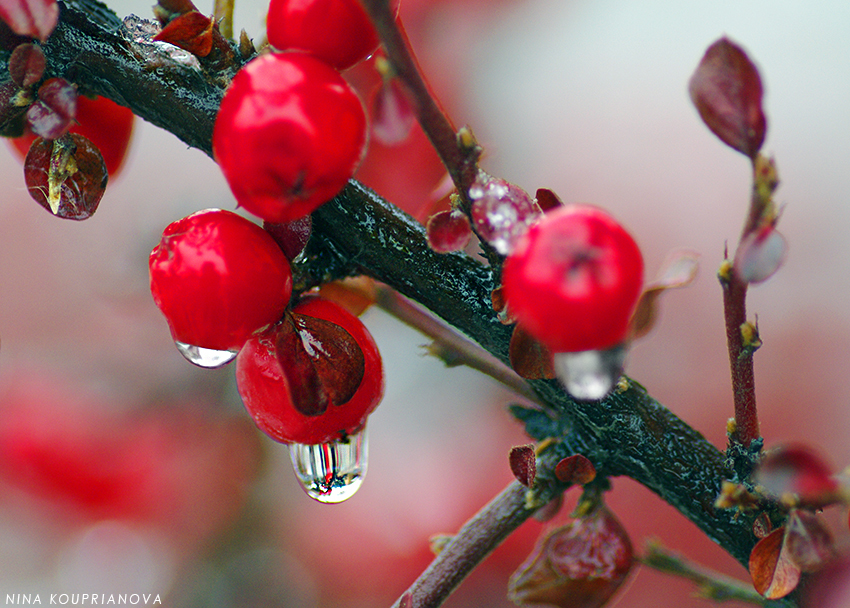 red berries with snow 3 850 px url.jpg