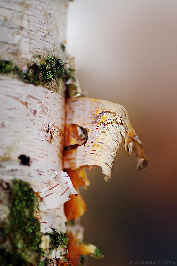 birch skin 1 850 px url.jpg