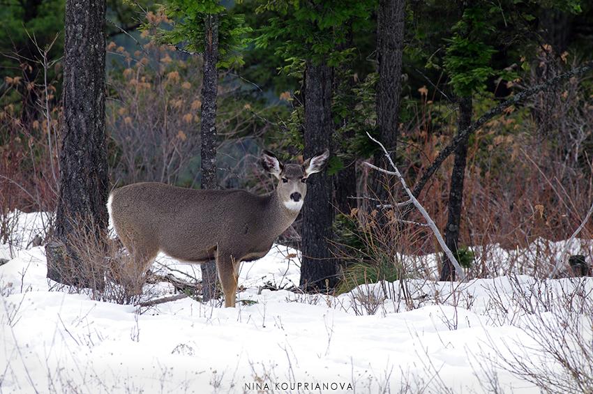 mule deer snow 1 850 px url.jpg