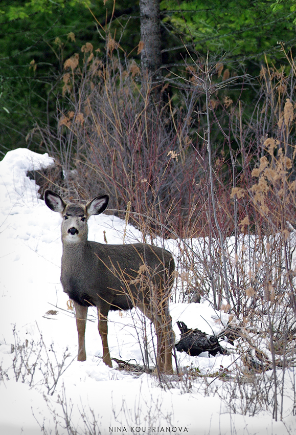 mule deer baby snow vertical 850 px url.jpg