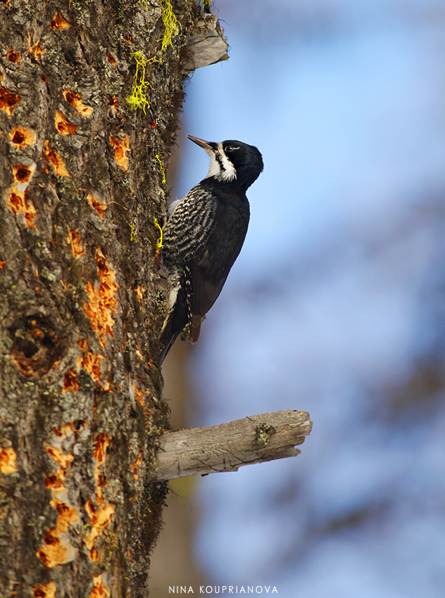 black backed woodpecker female 850 px url.jpg