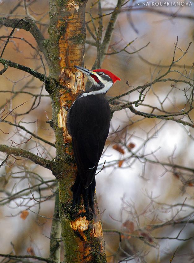 pileated woodpecker 2 850 px url.jpg