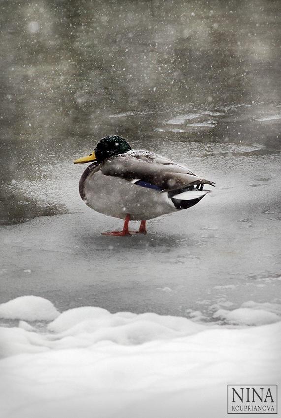 ducks in snow 2 850 px url.jpg