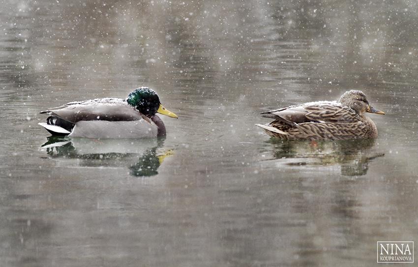 ducks in snow 3 850 px url.jpg
