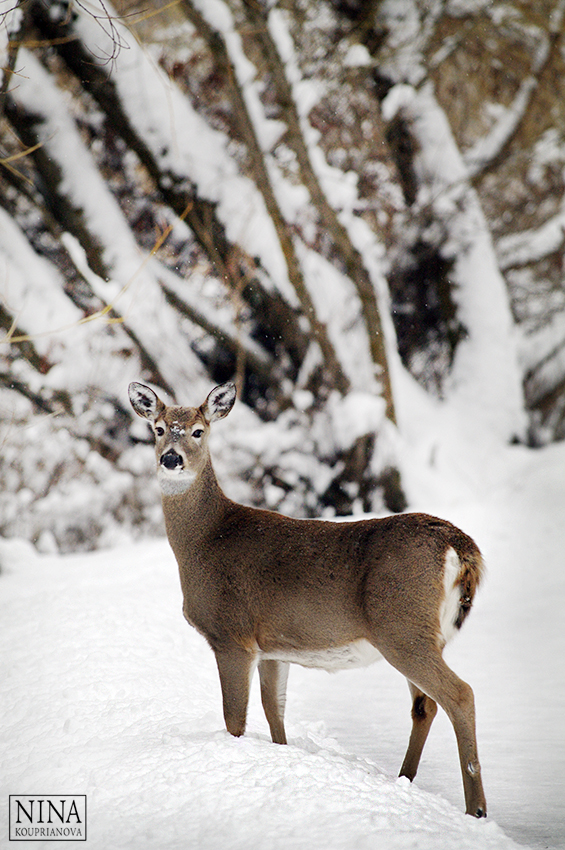 deer in snow landscape 850 px url.jpg
