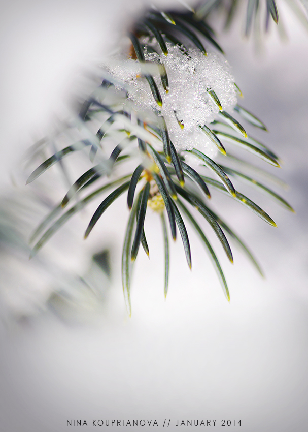 evergreen and snow 850 px.jpg