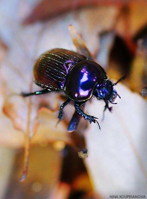 beetle at takao san 700 px url.jpg