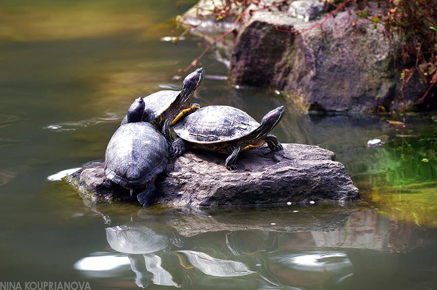 turtles sunbathing dazaifu 850 px url.jpg
