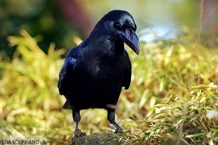 crow portrait 850 px.jpg