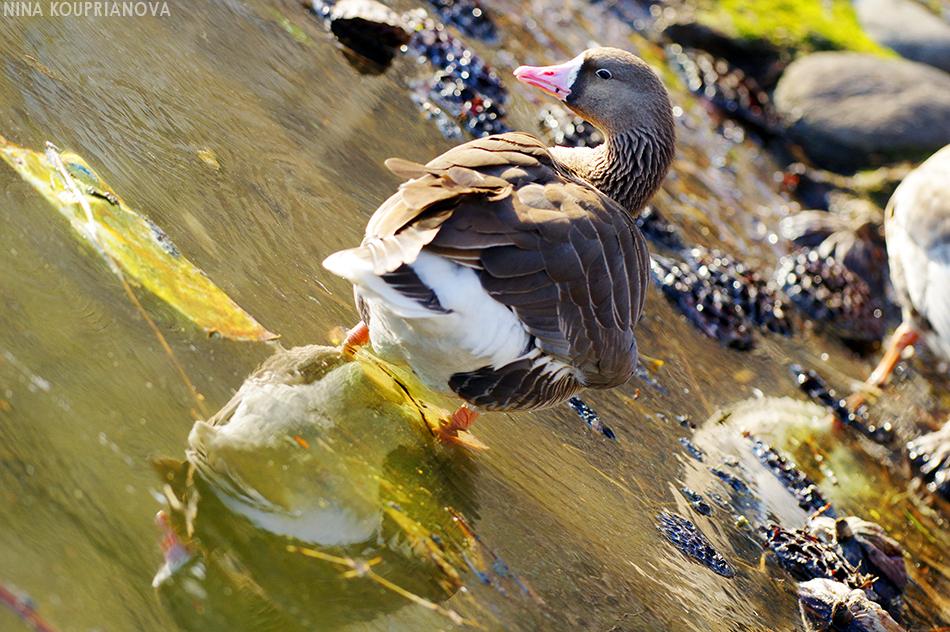 goose in ueno 900 px url.jpg