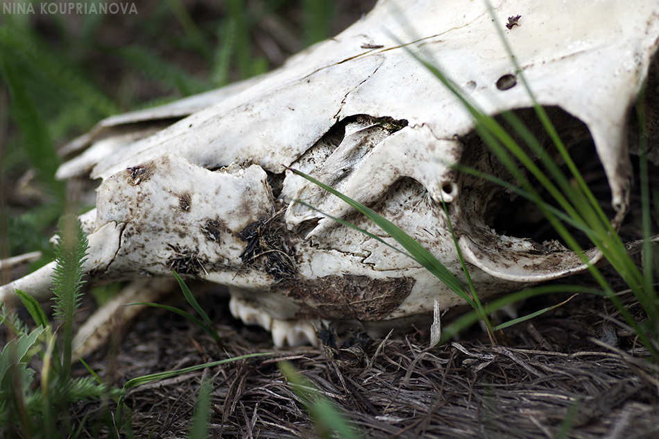 skull closeup in grass 950 px url.jpg