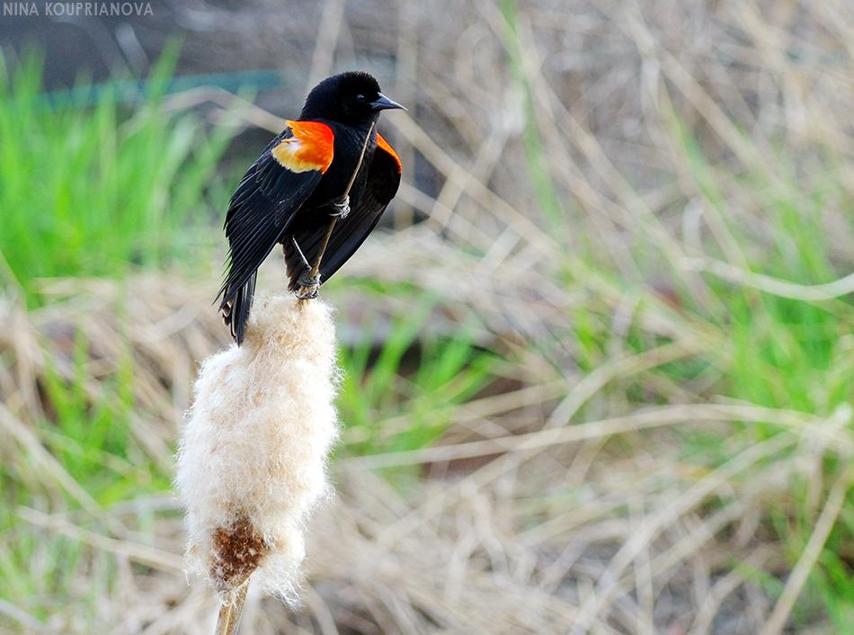 black and red bird 1 950 px url.jpg