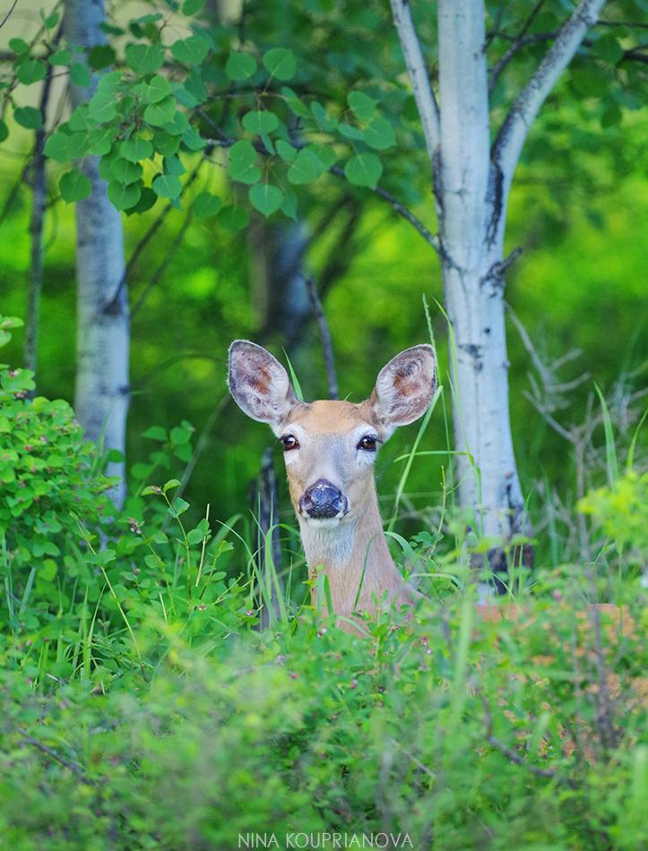 deer in trees 1 950 px url.jpg