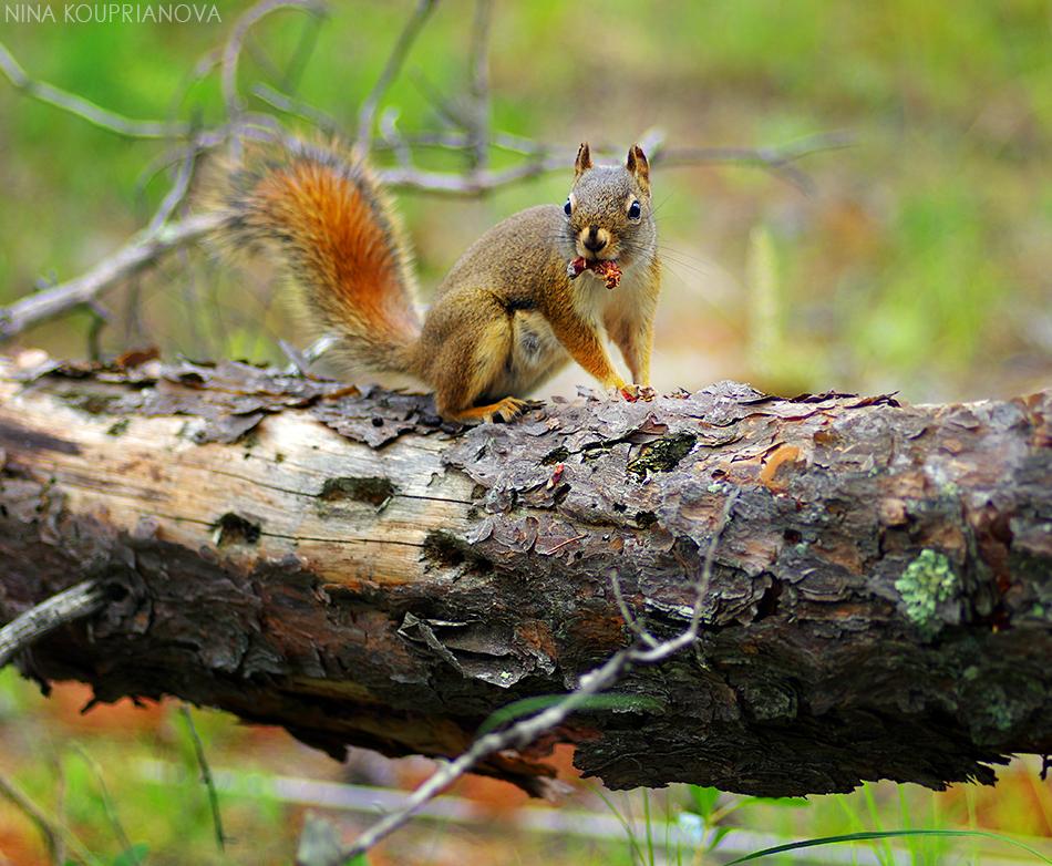 squirrel with mushroom 1 950 px url.jpg