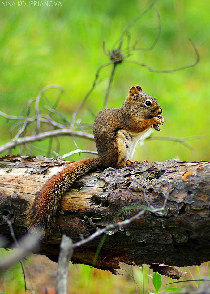 squirrel with mushroom 2 950 px url.jpg