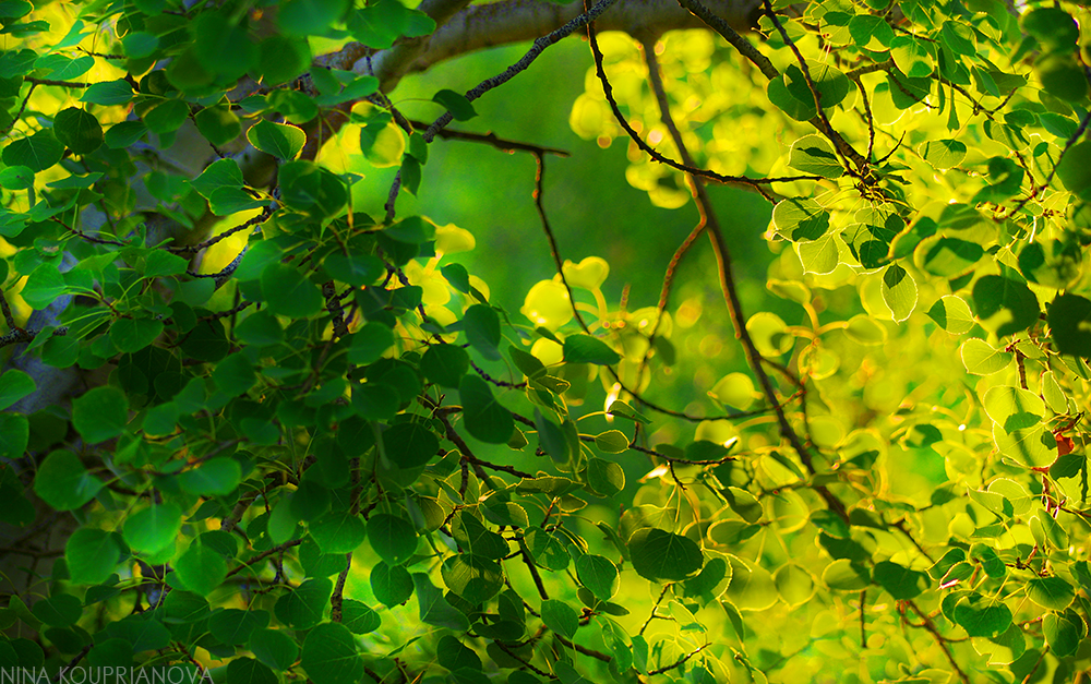summer aspen golden 2 1000 px.jpg