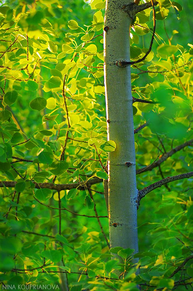 summer aspen golden 1000 px.jpg