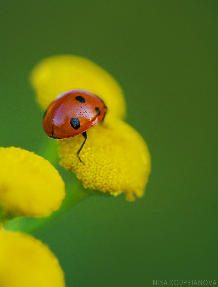 lady bug on yellow 2 1000 px.jpg